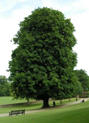 300px-Horse-chestnut_800