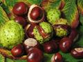 120px-Aesculus_hippocastanum_fruit