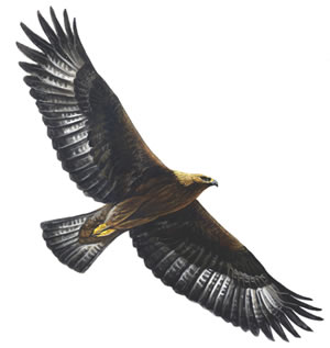 Golden eagle_300_tcm9-139839
